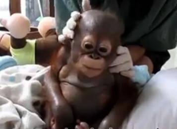 Представители британской зоозащитной ассоциации спасли годовалого орангутана Бади, который 10 месяцев прожил в клетке для курицы