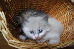 Котенок девочка белая