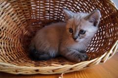 Котенок девочка светлая