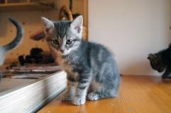 Котенок девочка серая