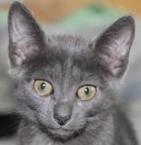 Серый котенок Мерсика