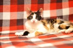 Котенок трехцветка