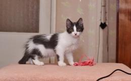 Бело-серый котенок