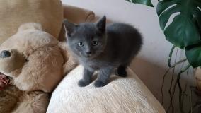 Котенок серый мальчик