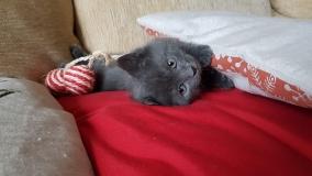 Котенок серый девочка